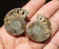 C21 24mm pierre Ammonite 135M° Years Fossile de Madagascar Coquillage shell