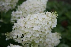 HYDRANGEA PANICULATA  'SILVER DOLLAR' - STARTER  PLANT - APPROX 5-7 INCH