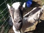 The Happy Vagabonds Dairy Goat Farm