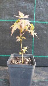 7  Piantine di Acero Palmato Giapponese Verde  per boschetto prebonsai   Bonsai