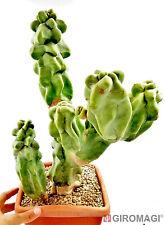 Lophocereus schottii v. mayor PotØ20cm - Giromagi Cactus & Succulent Plants