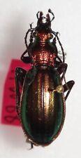 Carabidae Carabus Chrysocarabus lineatus lineatus Spain #W88 Carabid Beetle
