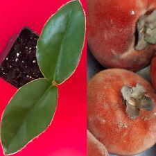 Velvet Apple Diospyros Discolor Blancoi Mabolo  Fruit Seedling Tree Plant