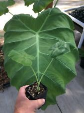 Colocasia Gigantea - 'Thai Giant' - Elephant Ear