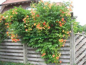 Klettertrompete - Campsis 'Grandiflora' 60-80 cm