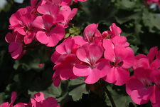 IVY GERANIUM - CALLIOPE  LAVENDER ROSE - 4 PLANTS - STARTER PLUGS - LIVE PLANTS