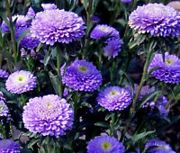 ASTER POMPON BLUE Callistephus Chinensis - 20 Seeds