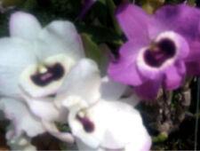 Full Shade Plant Plug/Seedling Orchids