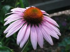 1000 PURPLE CONEFLOWER Echinacea Purpurea Flower Seeds + Gift & Comb S/H