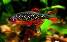 6+2 Adult Celestial Pearl Danio margaritatus Galaxy Rasbora Live Aquarium Fish