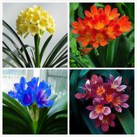 100pcs Clivia Flower Seeds Mixed Lily Perennial Bonsai Home Plant Bush Fragrant