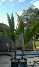 Coconut Palm Tree 4' (TWO PACK)  ARIZONA ONLY special inspection required.*