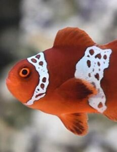 Live Lighting Maroon Clownfish Tank Raise 2 inches plus very Limited Available