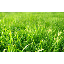 Turf Grass Seeds Turfgrass Grass Seeds Evergreen Lawn Seeds Festuca Arundinacea