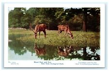 Maral Deer & Doe New York Zoological Park Official Postcard 1906 NYC A8