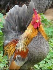 6++ Malaysian Serama Hatching Eggs A-B size Bantam Chicken Fertilized Egg BONUS