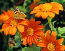 TITHONIA GOLDFINGER - MEXICAN SUNFLOWER  1.5 GRAM ~ 180 SEEDS (rotundifolia)