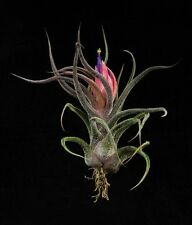 Tillandsia Pruinosa Live air plant bioactive natural house plant vivarium