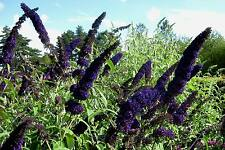 5 graines d' ARBRE A PAPILLONS VIOLET (Buddleia Davidii BLACK KNIGHT)G476 SEEDS