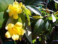 Carolina Jasmine Fragrant Swamp Jessamine Fragrant Yellow Spring Flowering Vine