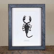 Giant Forest Scorpion In Box Frame (Heterometrus)
