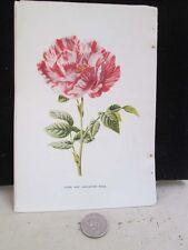Vintage Print,YORK AND LANCASTER ROSE,Familiar Garden Flowers,Hulme