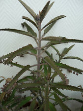 Kalanchoe Goethe Pflanze,  20 Kindels