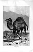Original Old Antique Print Natural History 1894 Arabian Camel Wild Animal 19th