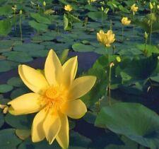Yellow Golden Water Lily Bowl Lotus Seeds (2pcs)