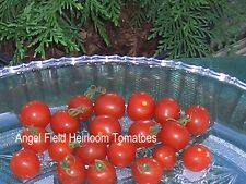 Texas Wild Heirloom Cherry Tomato 20 Seeds Sweet From Texas Native Americans