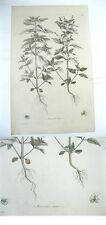Copperplate Engraving,Wm.CURTIS,1777,MERCURIALIS ANNUA