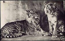netherlands ARNHEM, Burgers Zoo, TIGER TIGRE 1950s RPPC