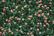 Clover Seed: Strawberry Clover Seeds 250+ Seeds  Fresh Seeds FREE Shipping!!!