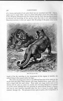 Original Old Antique Print Natural History 1893-94 Carnivores Puma Cat Animal