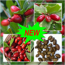 30pcs  Miracle Fruit Synsepalum Dulcificum Seeds Tropical Organic Fruit Seed