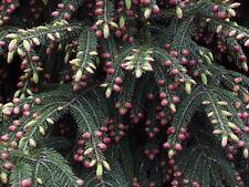 20 Wilson Spruce Tree Seeds * Evergreen Gift Garden Farm Bonsai Christmas Tree