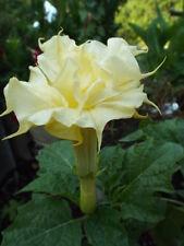 Datura Seeds Ballerinia Yellow Double Flower 25 Seeds Angels Trumpet