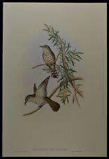 John Gould Little Cuckoo Bird British Museum Official Limited Print