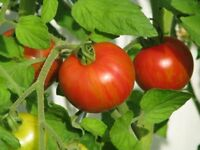 Tigerella Rot-gelb gestreifte Tomate alte robuste Sorte frühreifend Mr. Stripey
