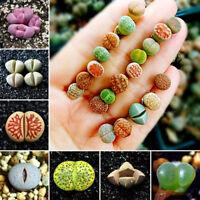 50x Mixed Seltene Lithops Samen Lebende Steine Sukkulenten Kaktus Pflanze Y1W5