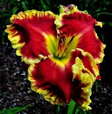 Daylily Seeds (Face the Fire x Bold Paint) (8) Seeds