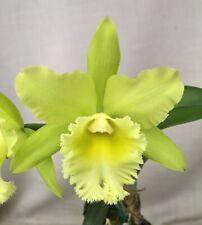 Blc. Prada Green Deluxe , Cattleya Orchid
