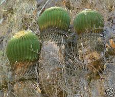 200 Echinocactus grusonii SAN JUAN CAPISTRANO SEMI SEEDS KORN SEMILLAS
