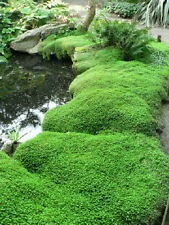 HELXINE MIND YOUR OWN BUSINESS GARDEN/HOUSEPLANT GREEN SHADY ALPINE EVERGREEN
