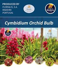 CYMBIDIUM SELECTED BACK BULBS - Mature quality bulbs to grow on.