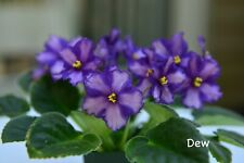 African Violet Chimera 'Princess Leia' - Plant in Bud