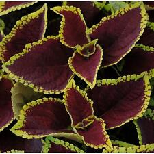 5 coleus seeds CHOCOLATE MINT Coleus blumei, the best for bedding and containers