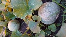 Babymelone für Topf Balkon, kleine Minimelone, rot , süß, Melone, Zuckermelone