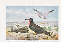 1910 Naturale Storia Double Sided Stampa ~ Pellicani/Fregata & Tropic Uccelli