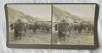 A Prize Head Buffalo – Butte Montana – N.A. Forsyth Early 1900s Stereoview Slide
